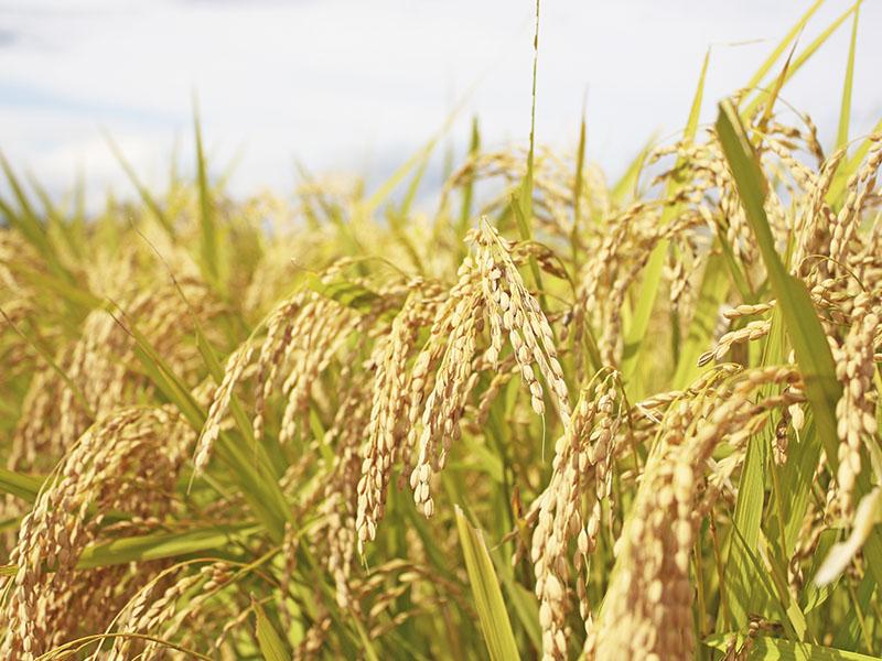 自然農法で栽培した「朝日米」