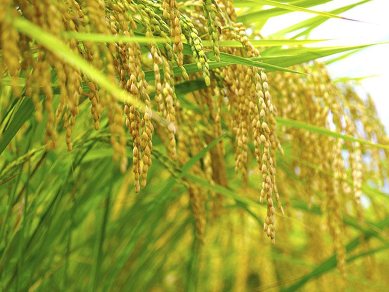 高梁川の伏流水と岡山の酒造好適米