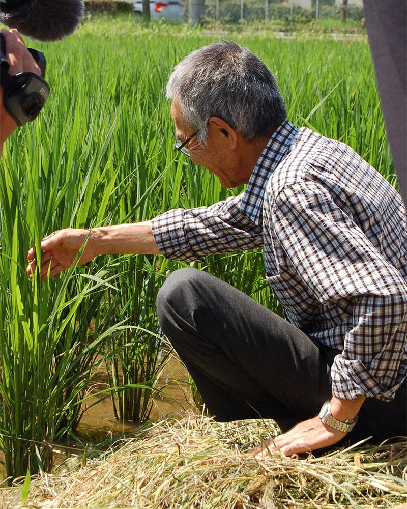 「木村式自然栽培」の「朝日米」